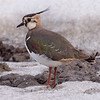 Vipe / Northern Lapwing<br /> Linnesstranda, Lier 22.3.2009<br /> Canon EOS 50D + EF 400 mm 5.6 L