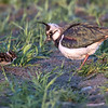 Vipe / Northern Lapwing <br /> Linnesstranda, Lier 4.5.2017<br /> Canon 7D Mark II + Tamron 150 - 600 mm 5,0 - 6,3 G2