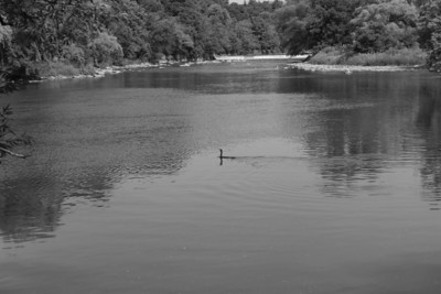 Cormorant in  the Humber River