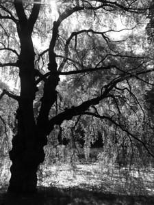 Backlit Tree, Humber River