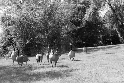 Goose Stepping