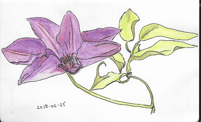 Clematis in Ink and Watercolour
