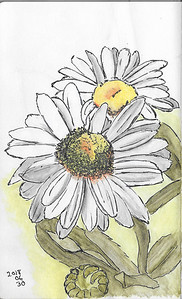 Daisies in Ink and Watercolour