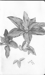 Plant Forms - Clematis