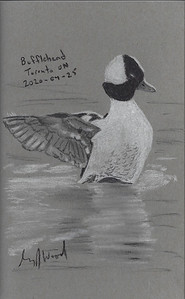 Bufflehead 30-Minute Sketch
