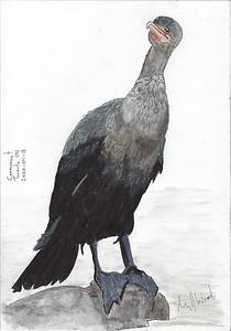 Cormorant With Attitude