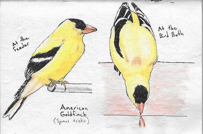 Goldfinch Studies