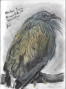 Nicobar Pigeon, Niagara Bird Kingdom