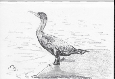 Standing Cormorant
