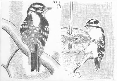 Woodpecker Studies In Pencil