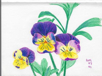 Jumping Jacks (Viola tricolor)