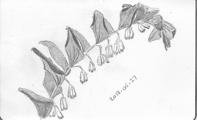 Plant Forms - Solomon's Seal