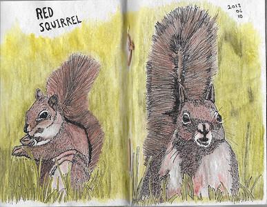 Red Squirrel Studies
