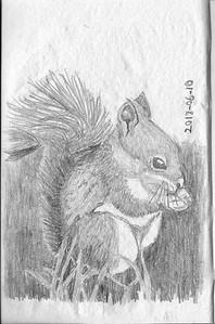 Red Squirrel Pencil Study