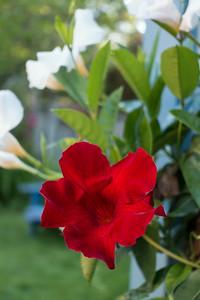 Mandeville Flower