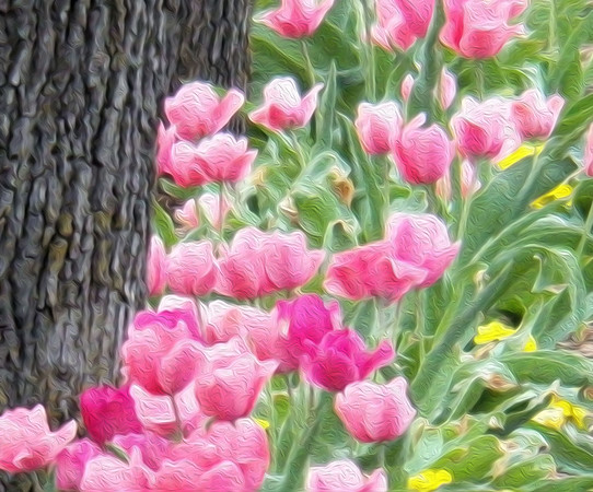 pink tulip oil
