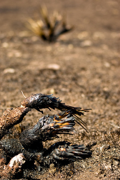 A burned cactus.