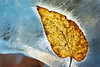 I took one of the not-uncommon nice winter days to poke around the Denver Gardens. They still had their Christmas-season ice sculptures up. There were very few people around, so I got up close to one of them and found this leaf embedded in the melting sculpture.