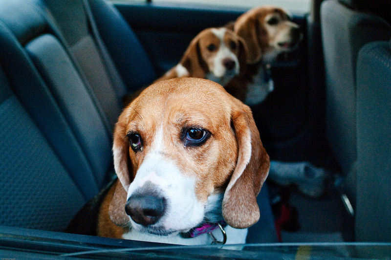 Leaving work I happened across this car full of beagles. The owner (not pictured, shockingly) was kind enough to let me do a quick portrait session while they waited for his wife to arrive.