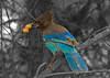 Blue Jay4