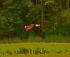 Flying Eagle-Toon