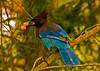 Blue Jay3-stylized