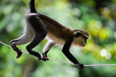 Monkey Forest Sanctuary, Ghana