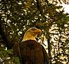 Noble Eagle-stylized