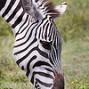 Plains Zebra Portrait #1