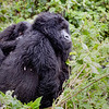 Mountain Gorilla Piggy Back
