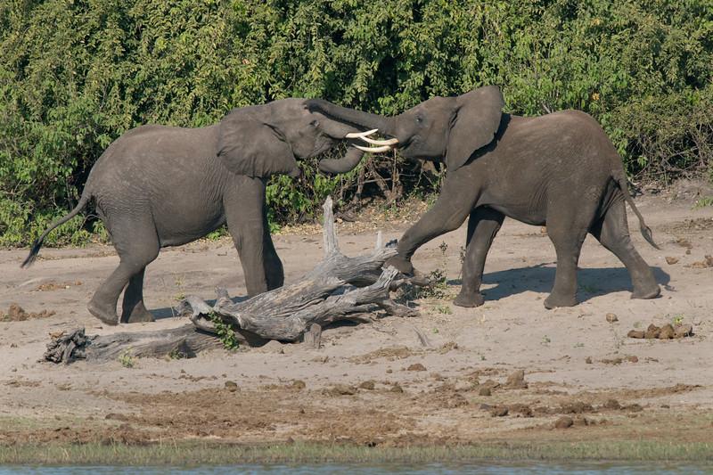 African Elephant Tussle #1