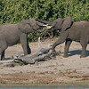 African Elephant Tussle #1