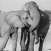 African Elephant Hug #3