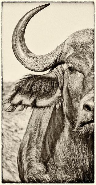 Cape Buffalo Half Portrait # 3
