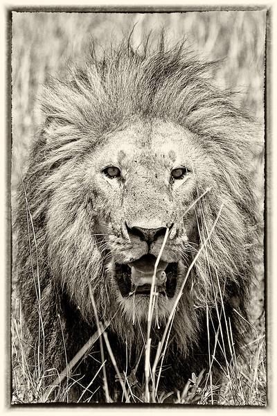 Lion King - Digitally Altered #1