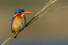 Malachite Kingfisher #1