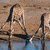 Angolan Giraffe Drink