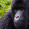 Mountain Gorilla - #10