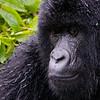 Mountain Gorilla - #10