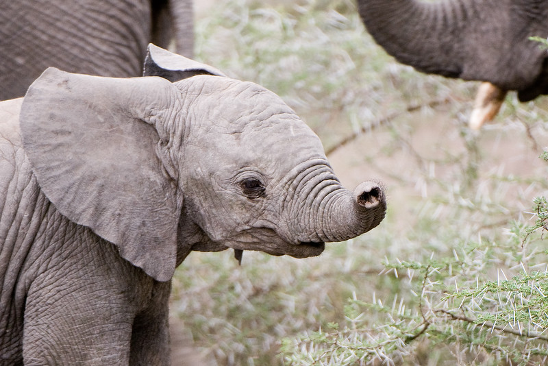 African Elephant Baby #1