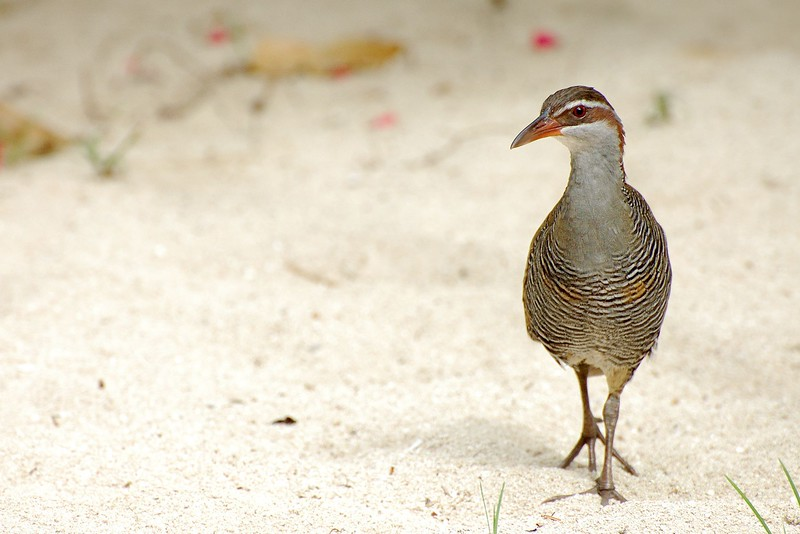 Buff-banded Rail #1, Uninhabited Island, Republic of Fiji, South Pacific Ocean