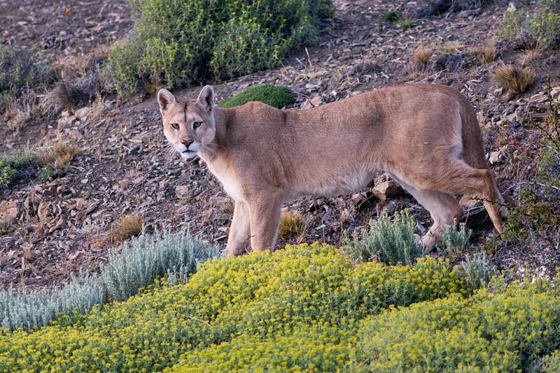 Puma #1