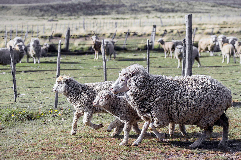 Three Sheep on an Estancia #1