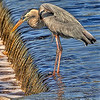I took this photo at the Gulf Shores State Park in Gulf Shores Alabama. This Blue Heron was fishing on the beautiful day and let me photograph him, he seemed to be posing.
