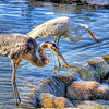 Blue Heron and White Crane fishing on a pond in Arizona, being watched by a small bird.
