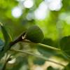Fig on the Tree