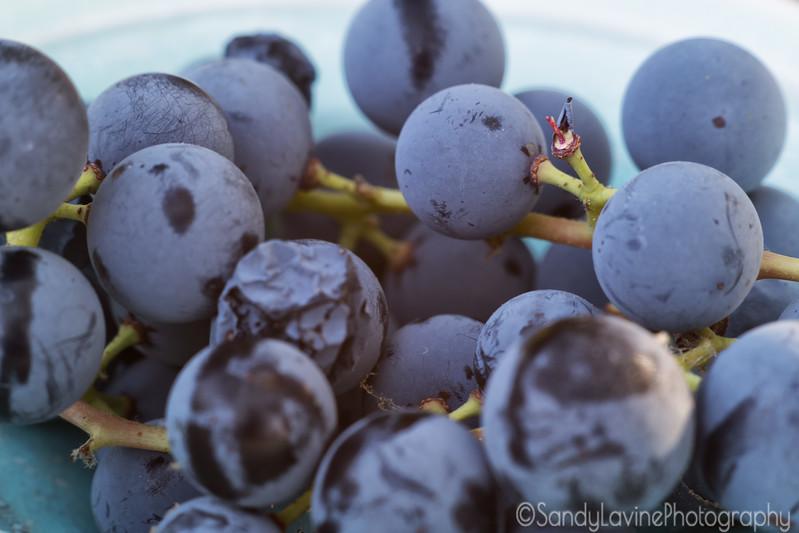 Concord Grapes 1 2017
