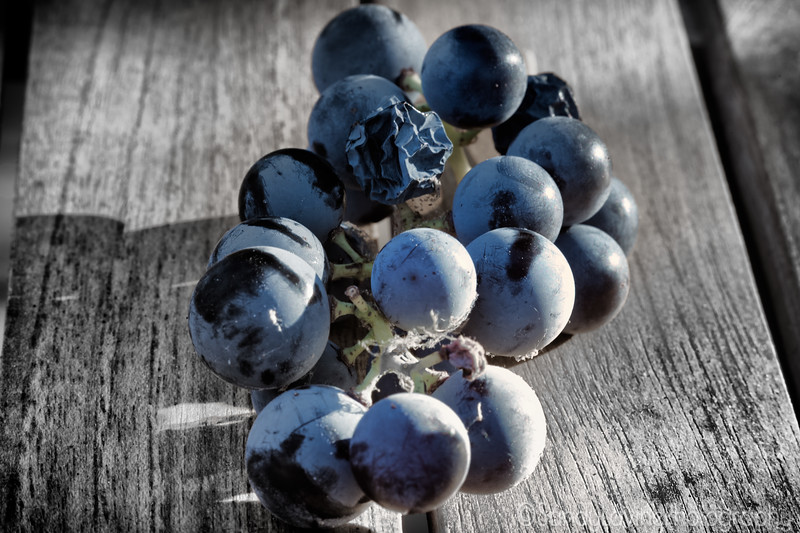 Concord Grapes 2 2017
