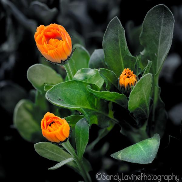 Backyard Marigolds