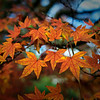 Fall Japanese Maple Leaves